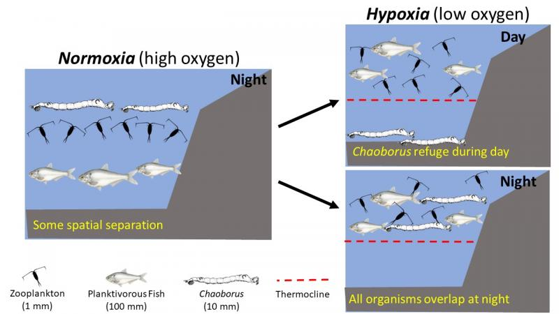 Diagram of overlap in organisms demonstrating hypothetical difference between normoxia and hypoxia