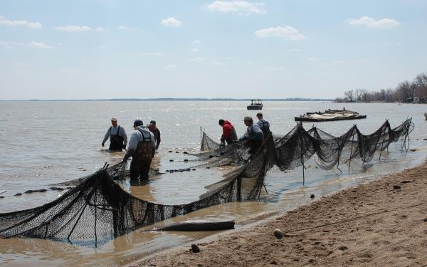 Fish gathering with nets on beach