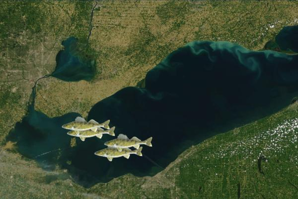 Image of walleye over aerial photo of Lake Erie